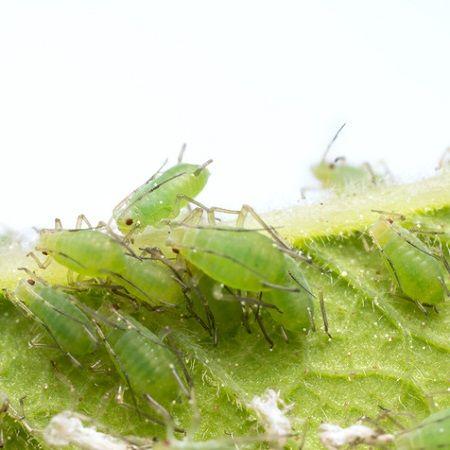 17 meilleures id es propos de lutter contre les pucerons - Produit naturel contre les pucerons ...