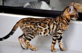 Harga anak kucing maine coon malaysia