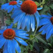 Echinacea 'Blueberry Pie' - astounding!