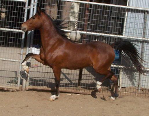 Hackney Horse | Rare breed, great high stepping horse, great at halter, beautiful