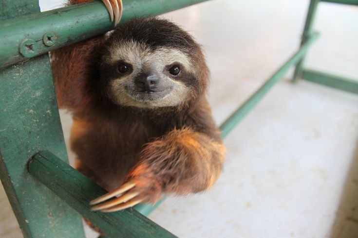 You've Never Known Love Until You've Heard A Baby Sloth Squeak (VIDEO)  These are the goofiest things ever.  They are hilarious!
