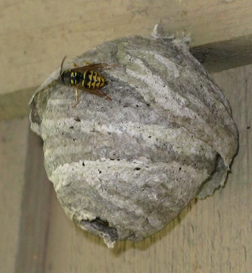 how to get rid of paper wasp nest