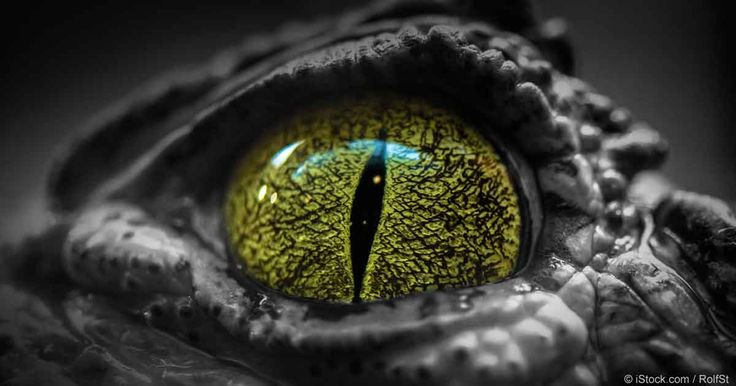 Discover facts about crocodile eyes and their unique features that make them remarkably adept at their sneak attacks. http://healthypets.mercola.com/sites/healthypets/archive/2016/11/15/crocodile-eyes.aspx