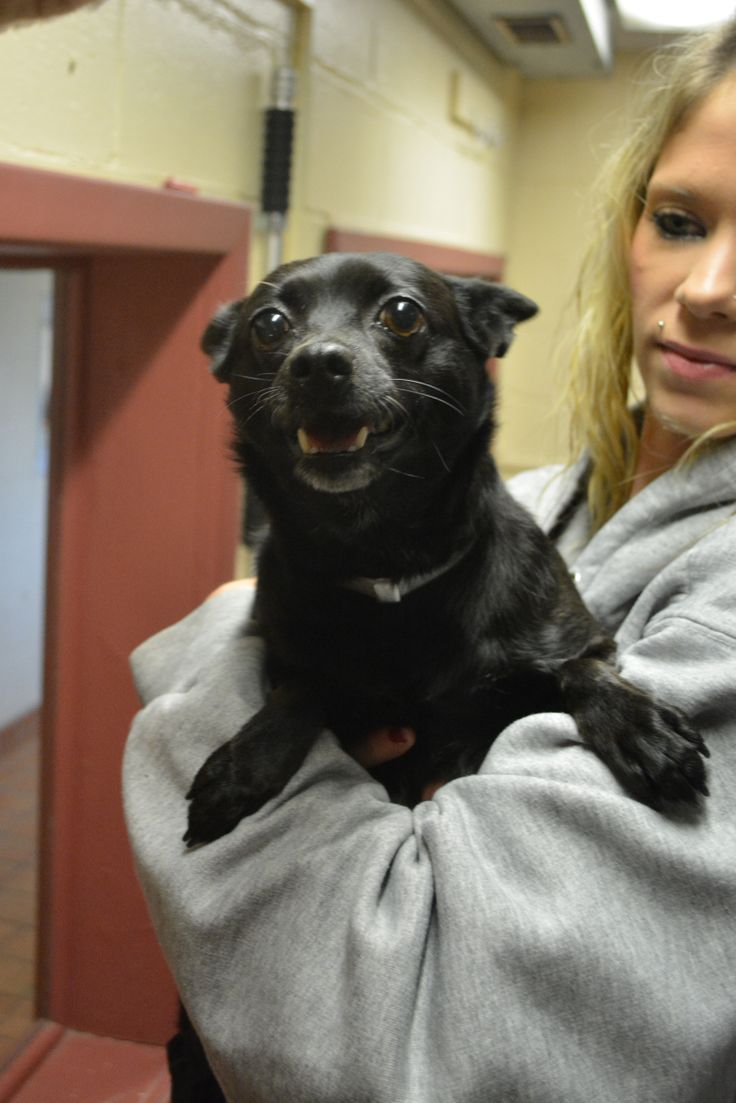 **available For Adoption!!!** Carmen Is A Female Chihuahua Mix