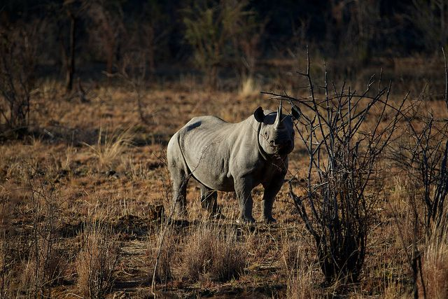 Black Rhino hunting license sold for $350,000 in Dallas, Texas | www.frontiergap.com | #conservation #BlackRhino #Namibia #animals