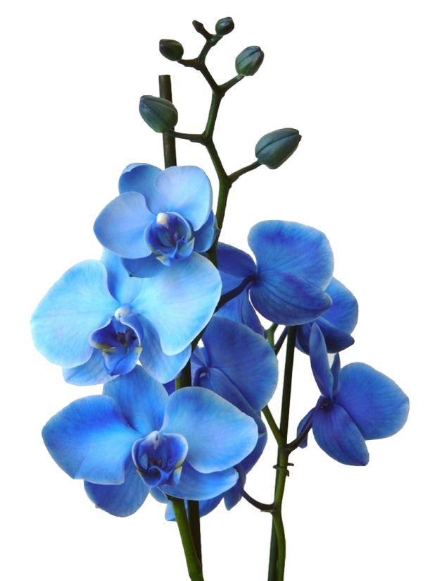 orchidée bleue - alsagarden