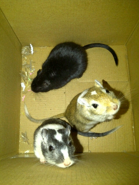 Theses gerbils look EXACTLY like my 3 gerbils: Kiara, Vitani, and Nala <3<3
