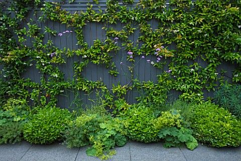 TANIA LAURIE LONDON. SMALL CONTEMPORARY GARDEN BY CHARLOTTE ROWE. GREY PAINTED FENCE WITH TRACHELOSPERMUM JASMINOIDES. VERBENA BONARIENSIS AND ALCHEMILLA MOLLIS IN BORDER