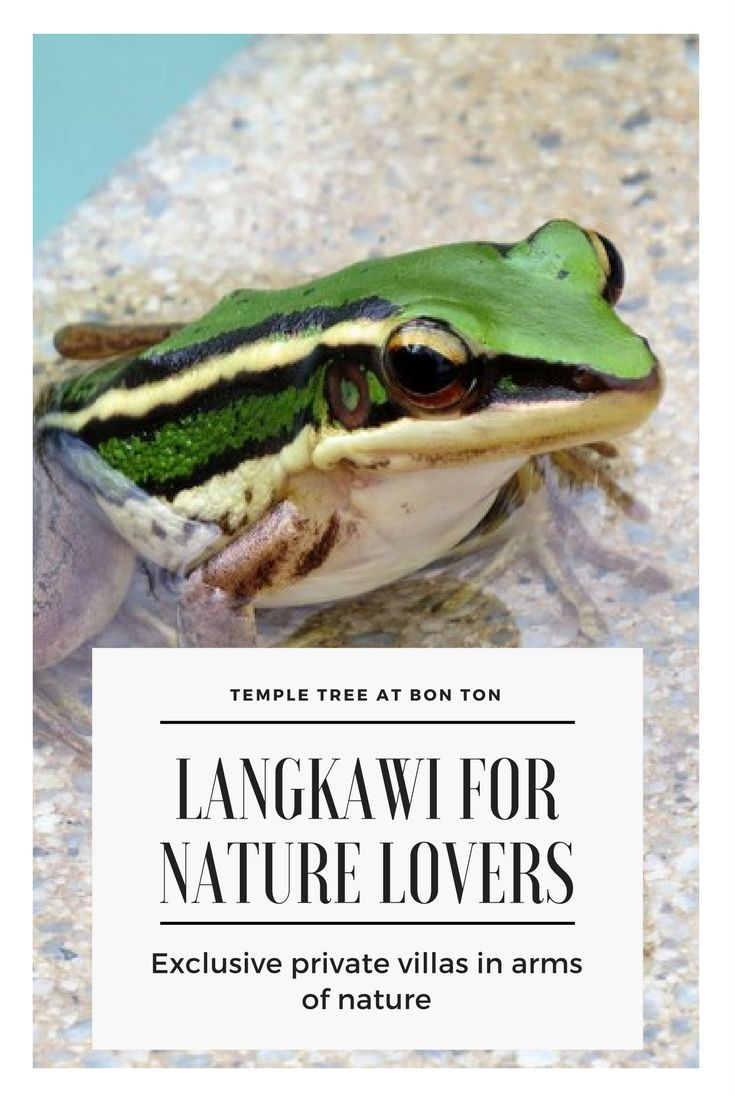 Langkawi is a mecca for nature lovers, but not many know it beyond the beaches. Click for birds and wildlife in Langkawi, most of which I found right next to my luxury boutique villa - https://wanderwithjo.com/temple-tree-by-bon-ton-langkawi-perfect-abode-for-nature-lovers/