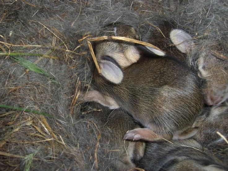 bunny nest: Baby Bunnies, Bunnies Nests