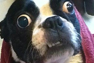 Boston terrier picture, World's Largest dog eyes 2012, World's Largest dog eyes photo, Boston terrier largest eyes, largest eyes in the world, dog has biggest eyes, texas largest dogs eyes