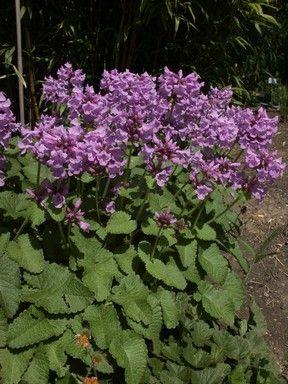 Čistec velkokvětý - Stachys macrantha (grandiflora)
