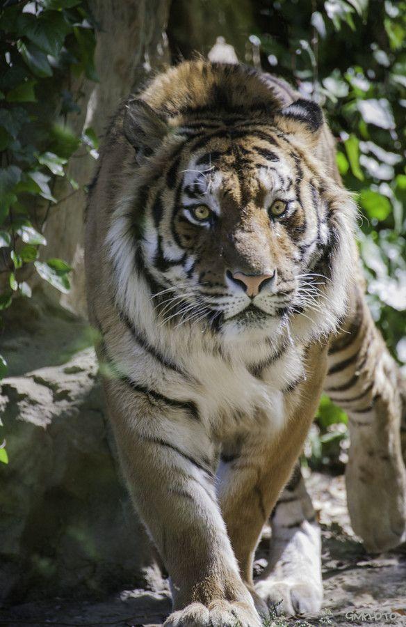 Eye of the Tiger by Gaetano Manitta on 500px