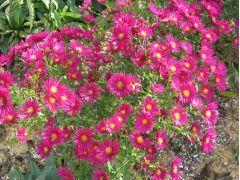 """Aster novi - belgii """" Winston Churchil """" - astra, hvězdnice Zahradnictví Krulichovi - zahradnictví, květinářství, trvalky, skalničky, bylinky a koření"""