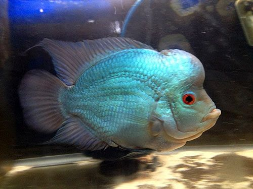 26 best images about Ryans flowerhorn pics on Pinterest ...