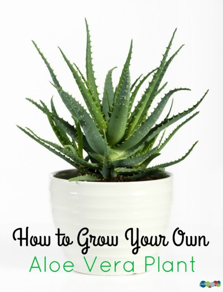 How to Grow Your Own Aloe Vera Plant