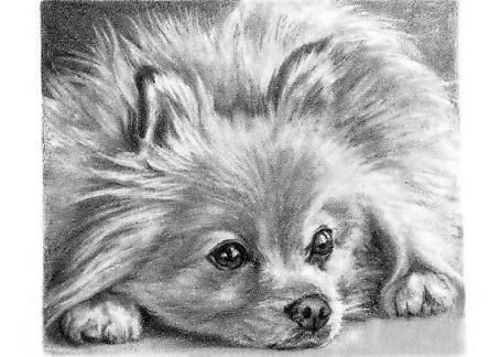 Image result for pomeranian sketches | art | Pomeranian ...