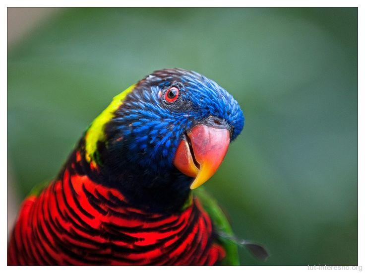 Лориевые попугаи -   Фотографии этих замечательных птичек я уже показывал в связи с Дарвинским дождем. Но речь тогда шла о происшествии, а не о самих птицах. Исправляю этот досадный пробел.  #животные #птицы #австралия #animals #birds #australia