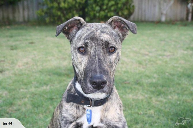 Basil is a 7 month old Greyhound x with unique brindle colouring which looks different depending what light he's in.  He is keen to experience the big wide world and loves to get out for a walk. He walks beautifully on the lead, and is learning to return when he is called if off-lead.     He is great when meeting other dogs and just wants to play.     He loves to be inside with his people and he likes nothing better than to find someone to give him cuddles and let him be near them.
