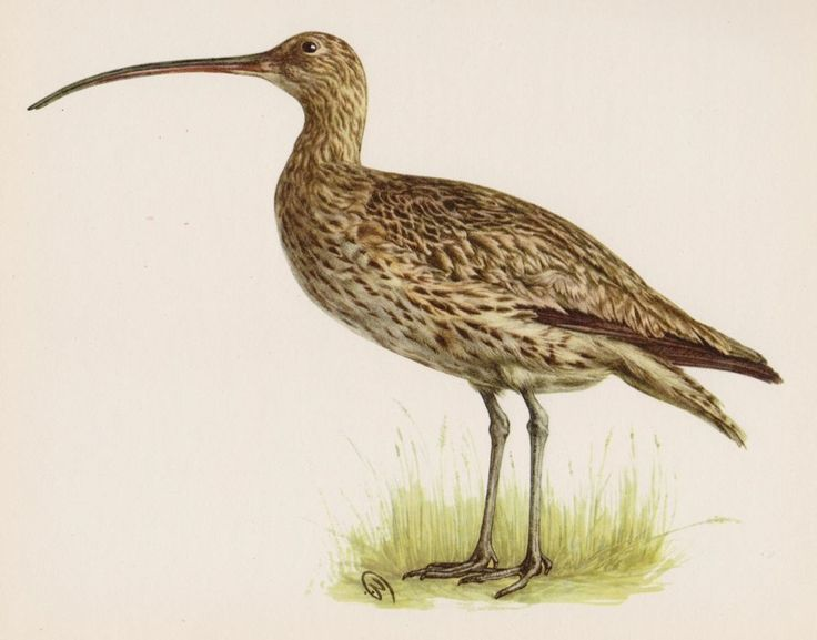 Lovely BIRD Print Vintage Bird Illustration Curlew Bird Gallery Wall Art 1153
