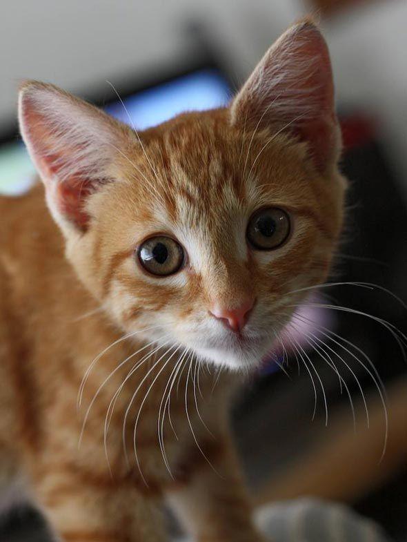 Strummer, an orange tabby kitten, posted via goodmorningkitten.com