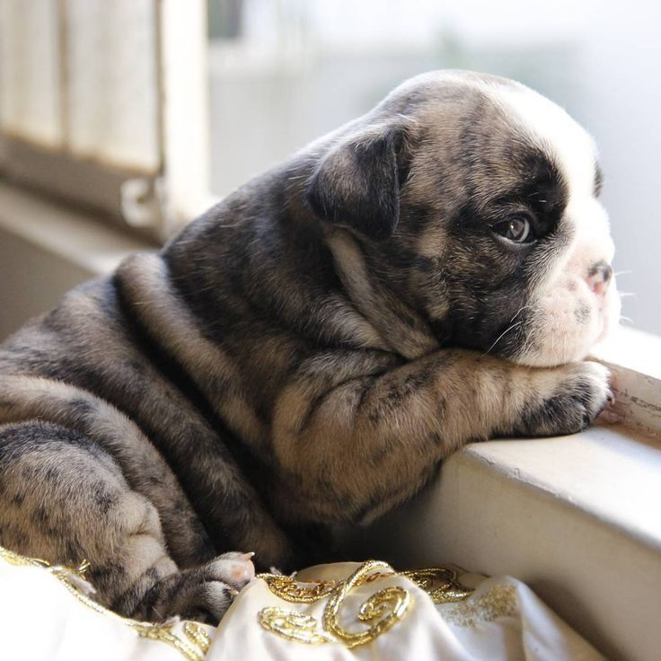 214 best images about Dogs Puppies Kitties on Pinterest | English ...