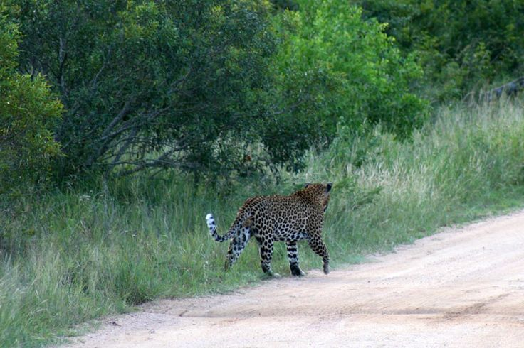 This was as close as we got to the Leopard - very elusive! (In Kruger National Park)