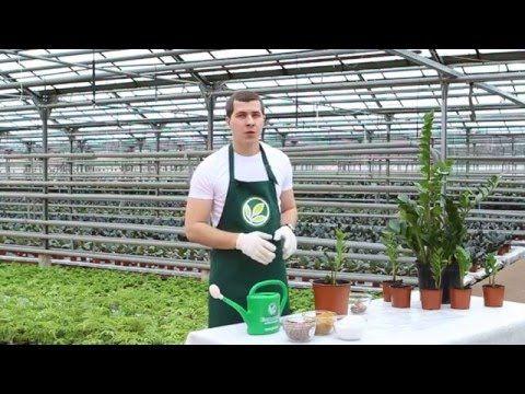 Неприхотливые комнатные растения: Замиокулькас - YouTube