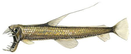 Pacific viperfish (Chauliodus macouni)