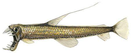 Pacific viperfish (Chauliodus macouni)