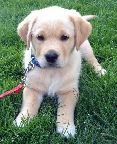 Lewis the Mixed Breed -- Puppy Breed: Australian Cattle Dog / German Shepherd Dog / Golden Retriever