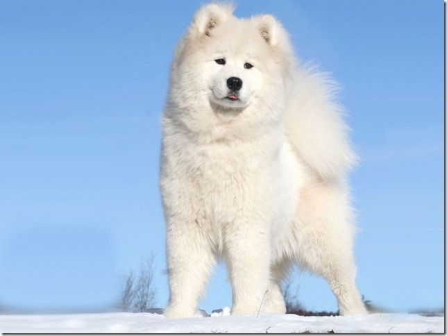 63 best sammies images on pinterest samoyed puppies beautiful the white samoyed dog of russia aibob voltagebd Image collections