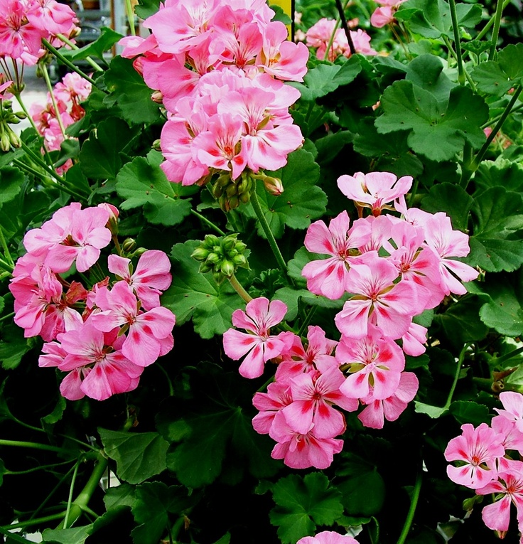 Top 28 scented leaf geranium the different types of low maintenance geraniums garden - Different types pelargoniums ...