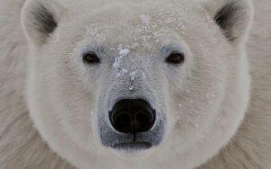 øyne, søvnig, fett, isbjørn, ansikt, lukke opp