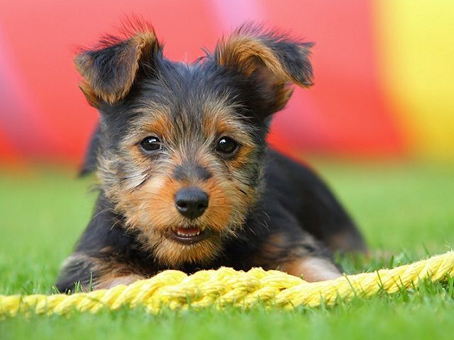 Australian Terriers – The Loyal Pets