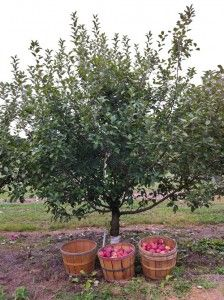 Semi-dwarf is the next-larger size in fruit trees.  These trees will reach 12-15 feet tall/wide. Once semi-dwarf fruit trees are bearing fruit, a 6-foot tall person can harvest most of the fruit without needing a ladder.