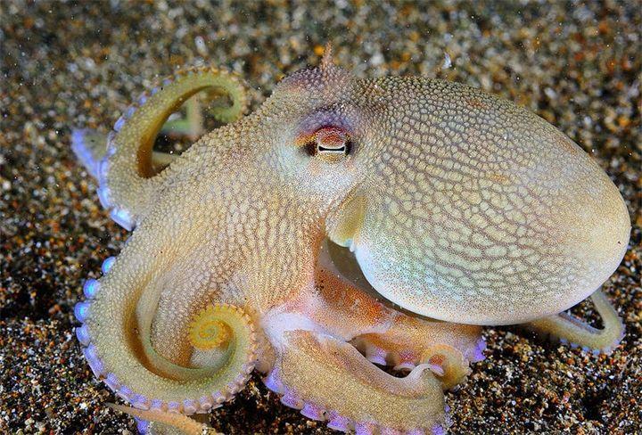 Жители морского мира. Часть 1. Фото 1-2:Жители морского мира. Часть 1.Кокосовый осьминог - Сoconut octopus - Amphioctopus marginatus. Туловище осьминога, как правило, около 8 см в диаметре, ...