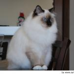 Sagrado de Birmania, Sacred Birman