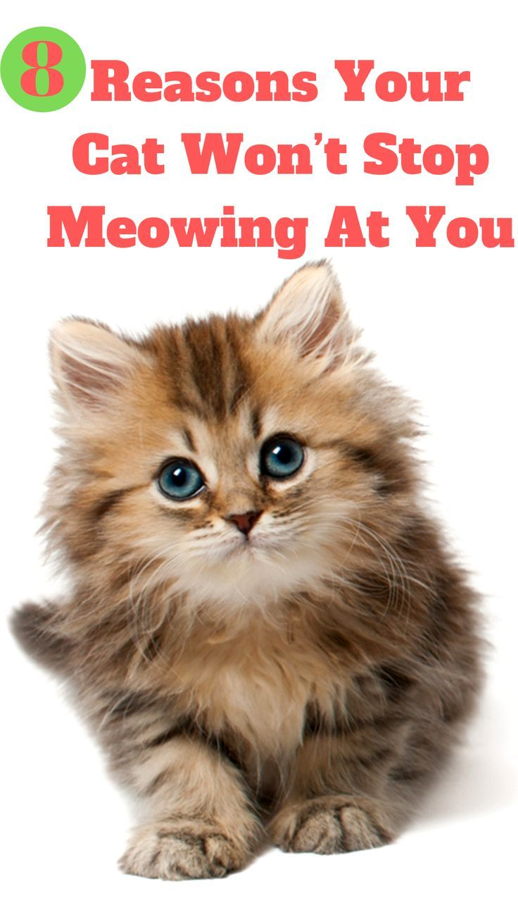 8 Reasons Your Cat Won T Stop Meowing At You Cats Best Cat Food Funny Cats