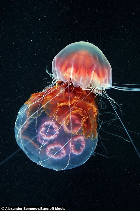 *A LION's MANE JELLYFISH ~ wraps its tentacles around a Moon jellyfish, which it is devouring