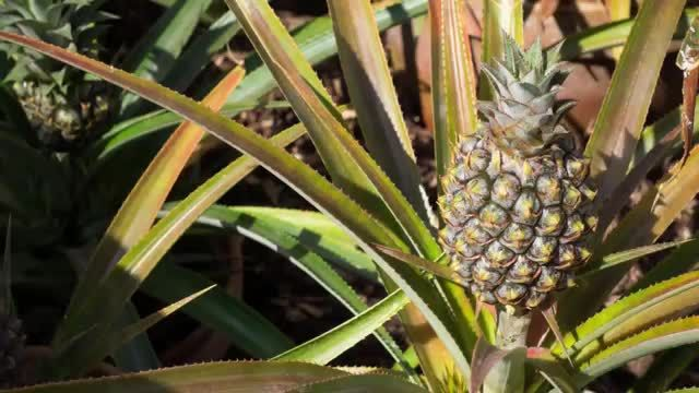 91f9a0833becf068b5bbfc87d174ab62 - Pineapples From The Lost Gardens Of Heligan
