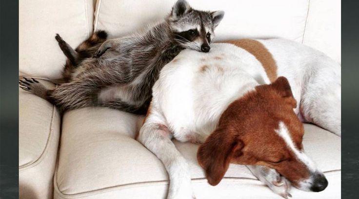 Una tierna amistad entre un mapache y Perros :https://mecuentalagente.com/2015/10/21/una-tierna-amistad-entre-un-mapache-y-perros/