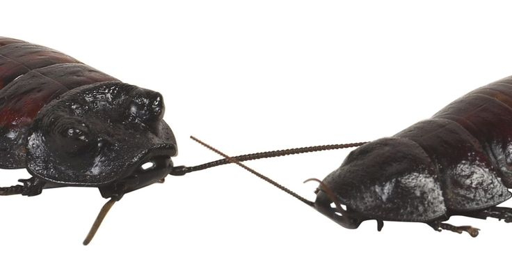 Quais são os aromas que as baratas não gostam?. As baratas são uma praga muito comum nos edifícios, especialmente aqueles não bem limpos. Elas são tão numerosas devido à sua alta taxa de reprodução . A visão de uma barata significa a existência de centenas mais, escondidas em fissuras de paredes ou sob tábuas do assoalho. Esses insetos podem transmitir doenças e bactérias aos moradores, ...