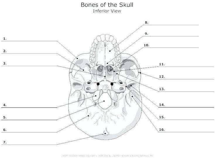 printable anatomy labeling worksheets skull bones coloring