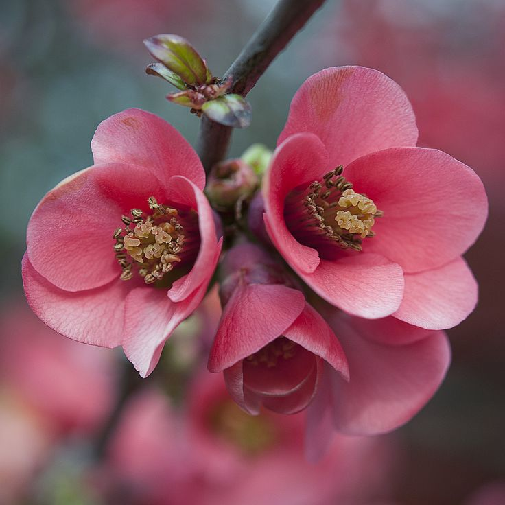symbolism in the japanese quince Is virtually impossible however, for a larger series of examples, please visit the  otomiya japan emblem library  mokkou (flowering quince) momo (peach.