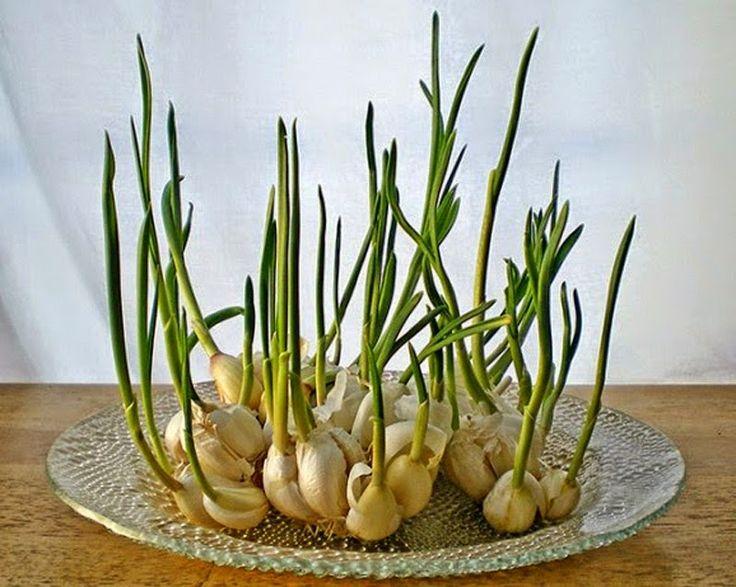 Knoblauch/Garlic: Knoblach-Schösslinge können von der Knoblauchzehe wachsen und haben einen milden Geschmack von Knoblauch. Die Sprösslinge können für Pasta, Salate und andere Gerichte verwendet werden. Wenn sie zu sprießen beginnen, platziere sie in einem Glas mit wenig Wasser.