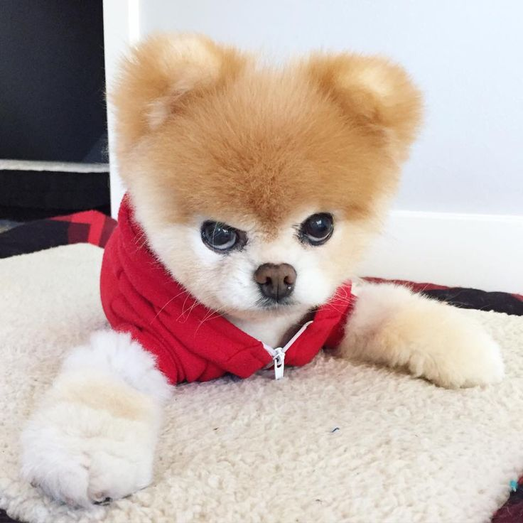 Can Dogs Get Rug Burn On Their Paws: 47 Best Images About Dogs Boo & Buddy Pomeranians On
