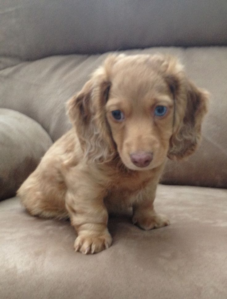 Long haired dachshund with blue eyes