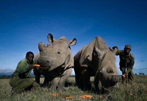 "Such is the life of Sudan, the last male northern white rhinoceros on Earth. Now, researchers at the Ol Pejeta Conservancy, Sudan's home, and elsewhere are rushing to save this subspecies, of which only five individuals remain. ""It's kind of a race against time,"" said Richard Vigne, CEO of Ol Pejeta."