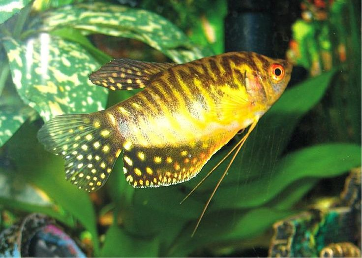 17 Best Images About Fish Gouramis On Pinterest Opaline